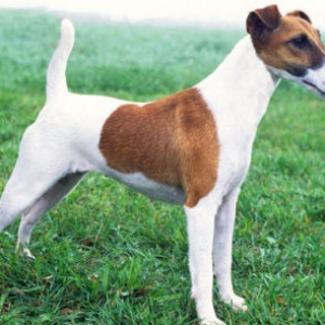 İt cutlasdirmak fox terrier